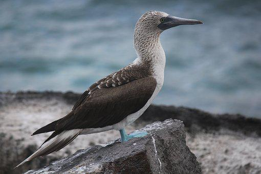 Blue-footed Booby, Galapagos, Sula Nebouxii, Blue Feet