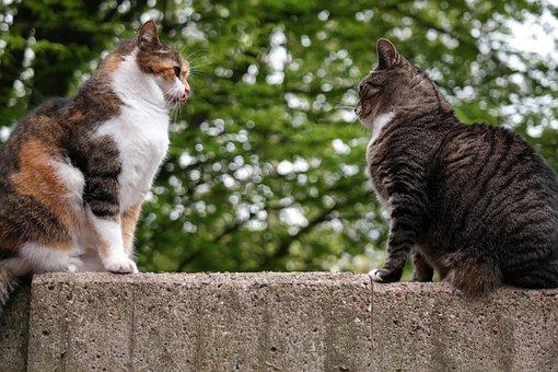 Cat, Domestic Cat, British Shorthair