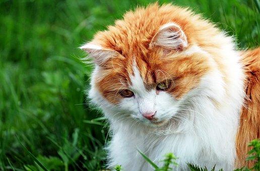 Cat, Red Tomcat, Mackerel, Grass, Portrait