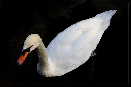 Swan, Animal, Bird, Beak, Nature, Animals, Birds, Color