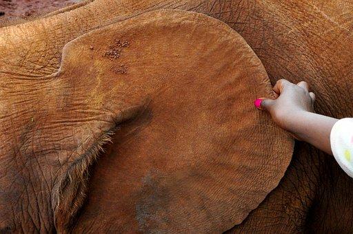 Africa, Elephant, Ear, African Bush Elephant, Animal