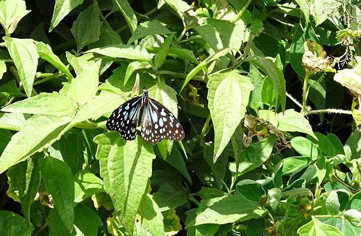 Butterfly, Blue Tiger, Tirumala Limniace, Insect