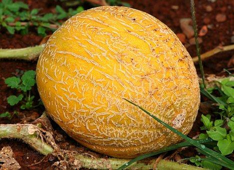 Cantaloupe, Mushmelon, Melon, Fruit, Vine, Garden