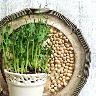 Pea Shoots, Peas, Yellow Peas, Grow, Pea, Silver Tray