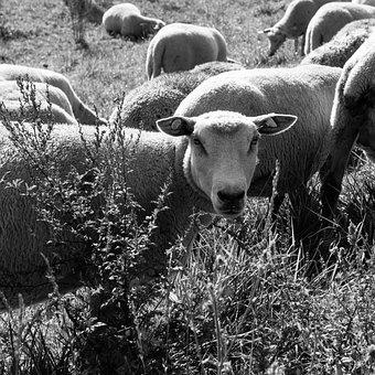 Sheep, Graze, Eat, Outdoor, Nature, Livestock