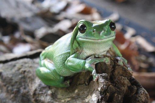 Green Tree Frog, Australia, Amphibian, Green