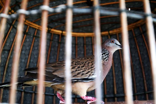 Bird, Cage, Animal, Sparrow, Poultry