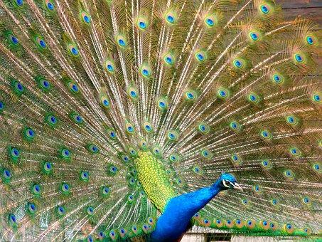 Bird, Peacock, Show Off, Showing Off, Arrogance, Flashy