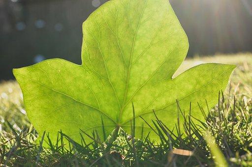 Ivy, Light, Backlighting, Structure, Veins, Plant