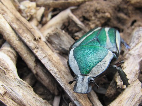 Beetle, Green, White, Black, Insect