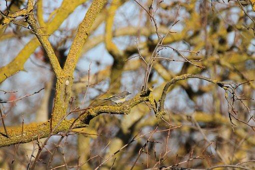 Yellow-rumped Warbler, Warbler, Song Bird, Bird