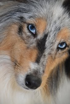 Dog, Bitch, Shetland Sheepdog Blue Eyes