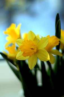 Narcissus, Flower, Bloom, Daffodils