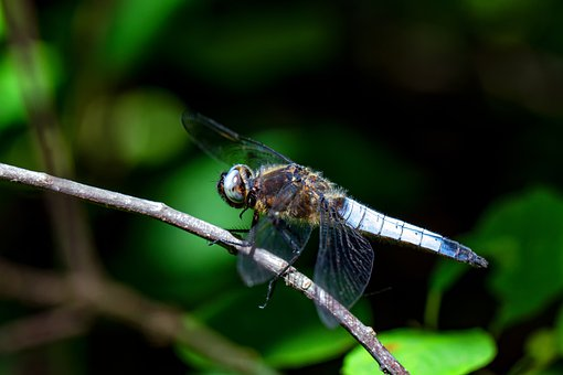 Dragonfly, Blue Arrow, Insect, Close Up, Macro, Wing