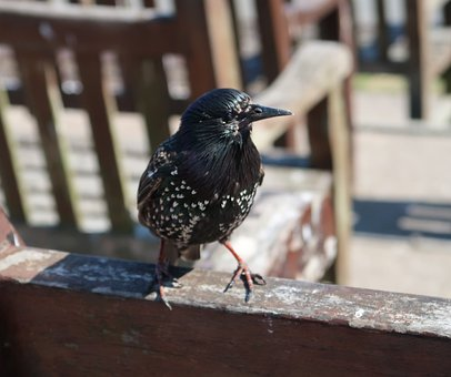Starling, Cute, Bird, Bench, Spotted, Plumage