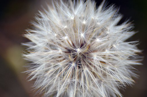 Flower Of The Dandelion, Wishes, Dandelion, Weed, Seeds