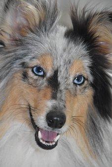 Dog, Bitch, Shetland Sheepdog Blue Eyes, Fangs Of A Dog