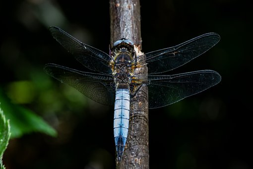 Blue Arrow, Dragonfly, Nature, Close Up, Macro, Insect