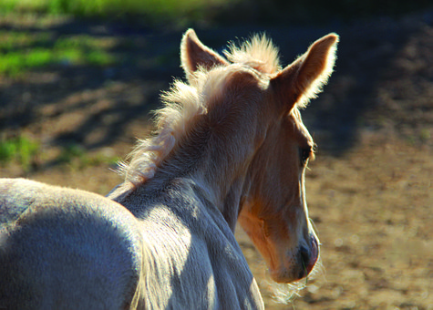 Colt, Palomino, Ranch, Equestrian, Agriculture