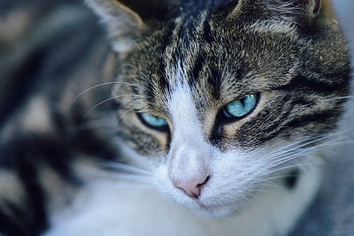 Cat, Animal, Domestic, Pet, Eye, Whiskers, Ear