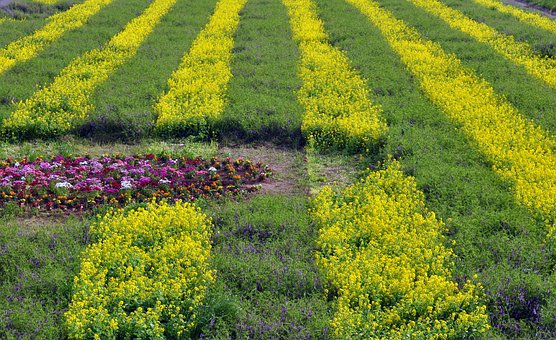 Natural, Landscape, Flower Bed, Flowers, Yellow, Purple