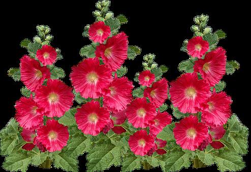 Flowers, Tall, Red, Hollyhocks, Cottage Garden