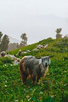 Goat, Goat Village, Horns, Monsoon, Kobe, Health