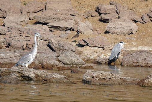 Bird, Heron, Grey Heron, River, Chambal