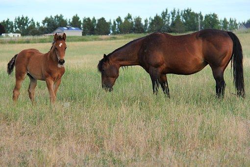 Horses Grazing, Colt Grazing, Summer Field, Horses
