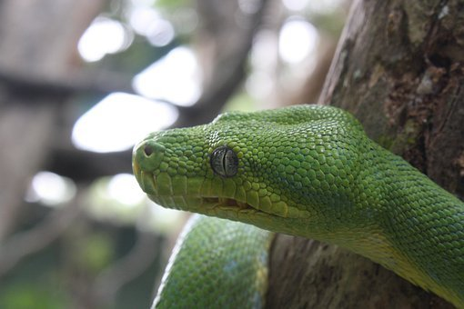 Green Tree Snake, Lizard, Snake, Leaves, Green, Tree