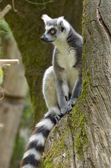 Lemur, Animal, Cute, Zoo, Sweet, Mammal, Nature