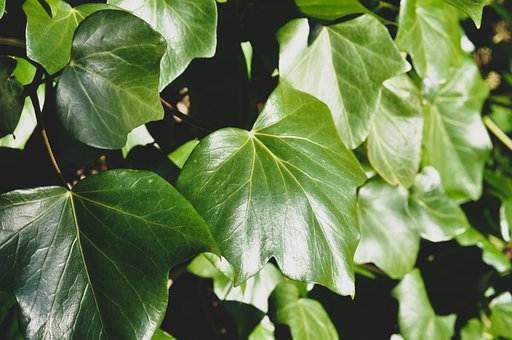 Ivy, Leaves, Green, Light, Nature, Spring