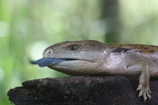 Blue Tongue, Lizard, Reptile, Wildlife, Nature, Wild