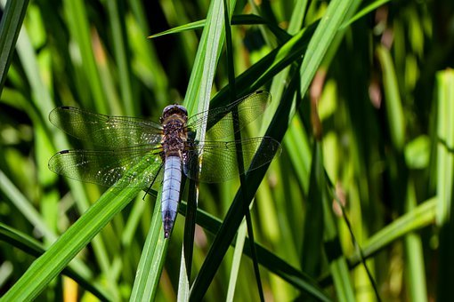 Blue Arrow, Dragonfly, Insect, Close Up, Macro