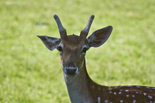 Portrait, Deer Portrait, Bugs, Nature, Animal, Wild