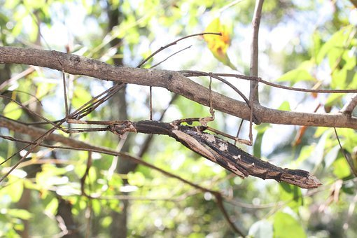 Stick Insect, Camouflage, Insect, Bug, Wildlife, Nature