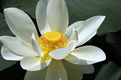 Lotus, Lotus Greenhouse, Blossom, Bloom, Flower, Plant