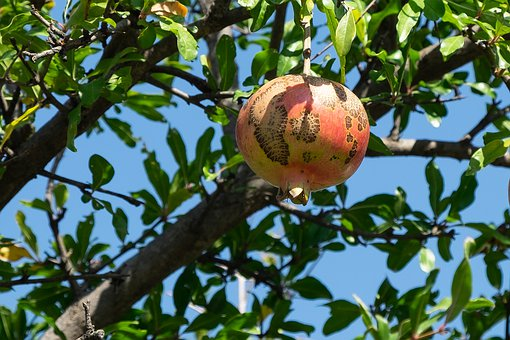 Pomegranate, Tree, Fruit, Sheet, Globe, Nutrition