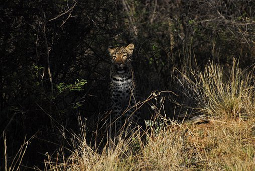 Earth Hour, Leopard, Nature, Wildlife, Predator, Africa