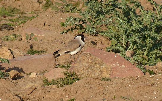 Bird, River Lapwing, Vanellus Duvaucelii, Avian, Fauna