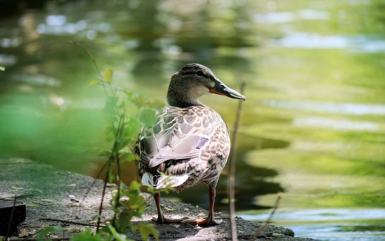 Bird, Duck, Female, Sitting, The Bank, The Lake, Water