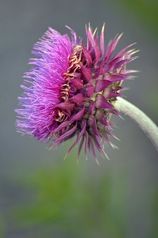Thistle Flower, Weed, Nature, Flower, Thistle, Bloom