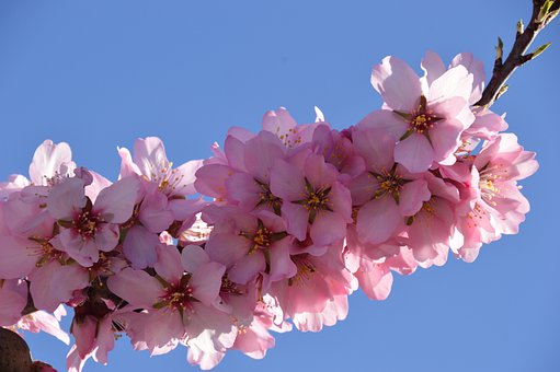 Blossom, Almond, Flowers, Spring, Nature, Tree, Pink