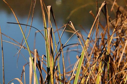 Reed, Bank, Lake, Marsh Plant, Nature, Water, Grass