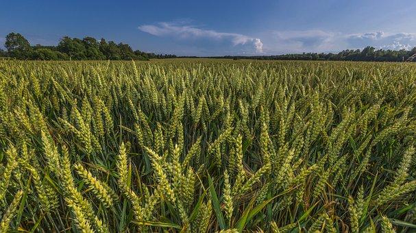 Wheat, Field, Skyline, Clouds