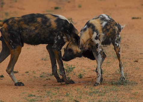 Wild Dog, Namibia, African Wild Dog, Painted Wolf