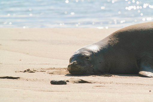Robbe, Seal, Beach, Water, Sea, Nature, Vacations