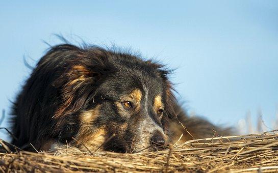 Border Collie, Working Dogs, Workingdog, Sheepdog
