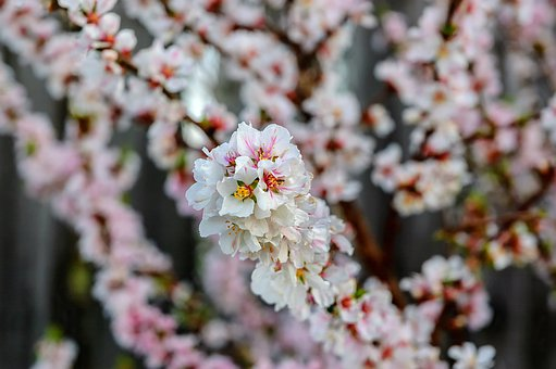 Blossoming, Blossom, Tree, Blooming, Bud, Soft, Natural
