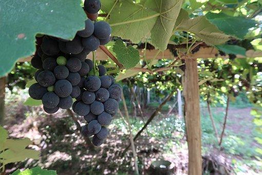Uva, Cacho, Curls, Leaf, Foliage, Vinhal, Vineyard